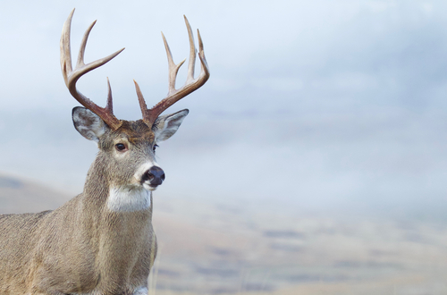 when to use calls for whitetail deer