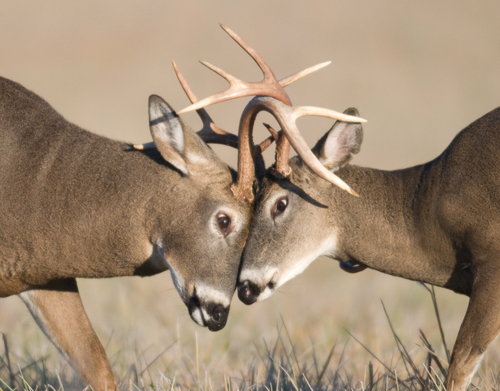 whitetail deer rut calls