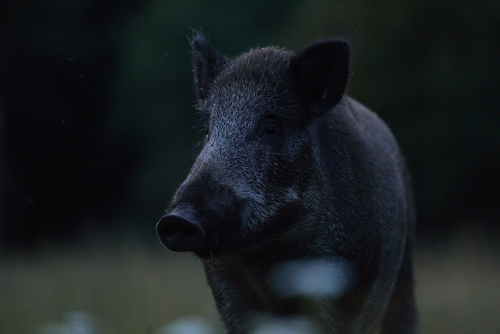 hog hunting at night tips